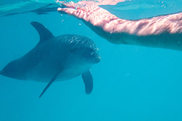 Schwimmen mit Delfinen im Roten Meer