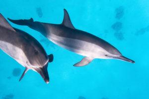 Zwei Spinner Delfine schwimmen im Meer