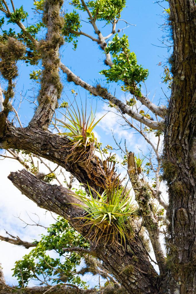 Aufsitzerpflanzen in Kuba