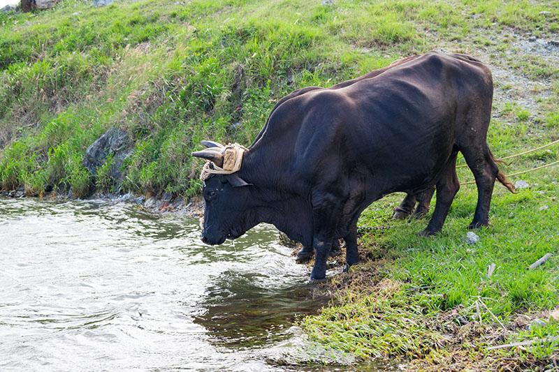 Zwei Ochsen beim Trinken