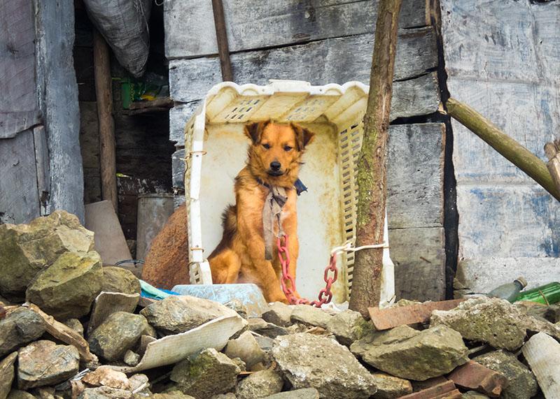 angeketteter Hund in seiner Hütte