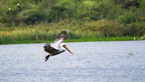 Pelikan auf Futtersuche in Kuba