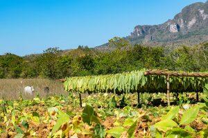 Tabakplantage im Viñales in Kuba
