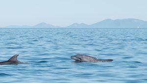 Delfin in der Adria
