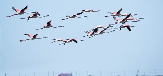 Gruppe Flamingos beim Fliegen