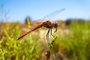 Libelle beim Fressen