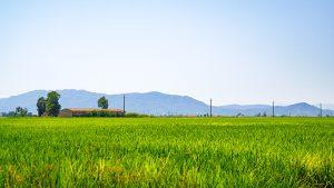 Reisfelder im Ebrodelta
