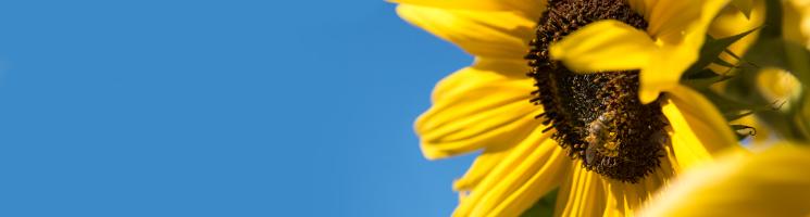 Firefox Theme - Sonnenblume